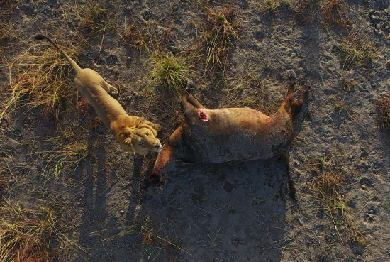 Ariel shot of a lion and its kill