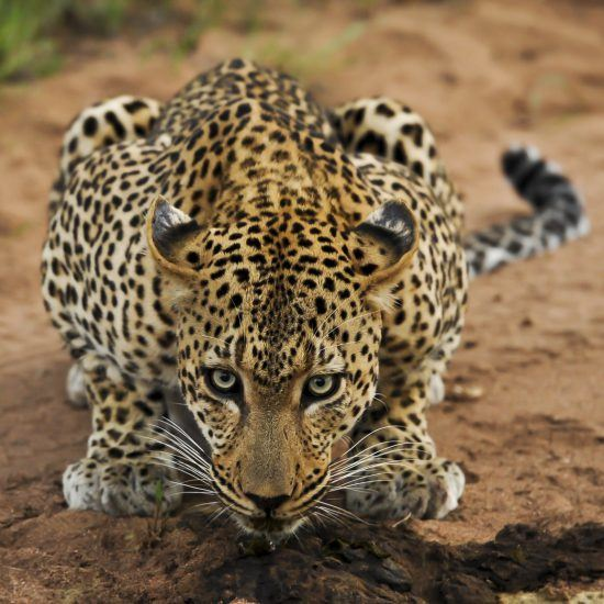 leopard attacking position