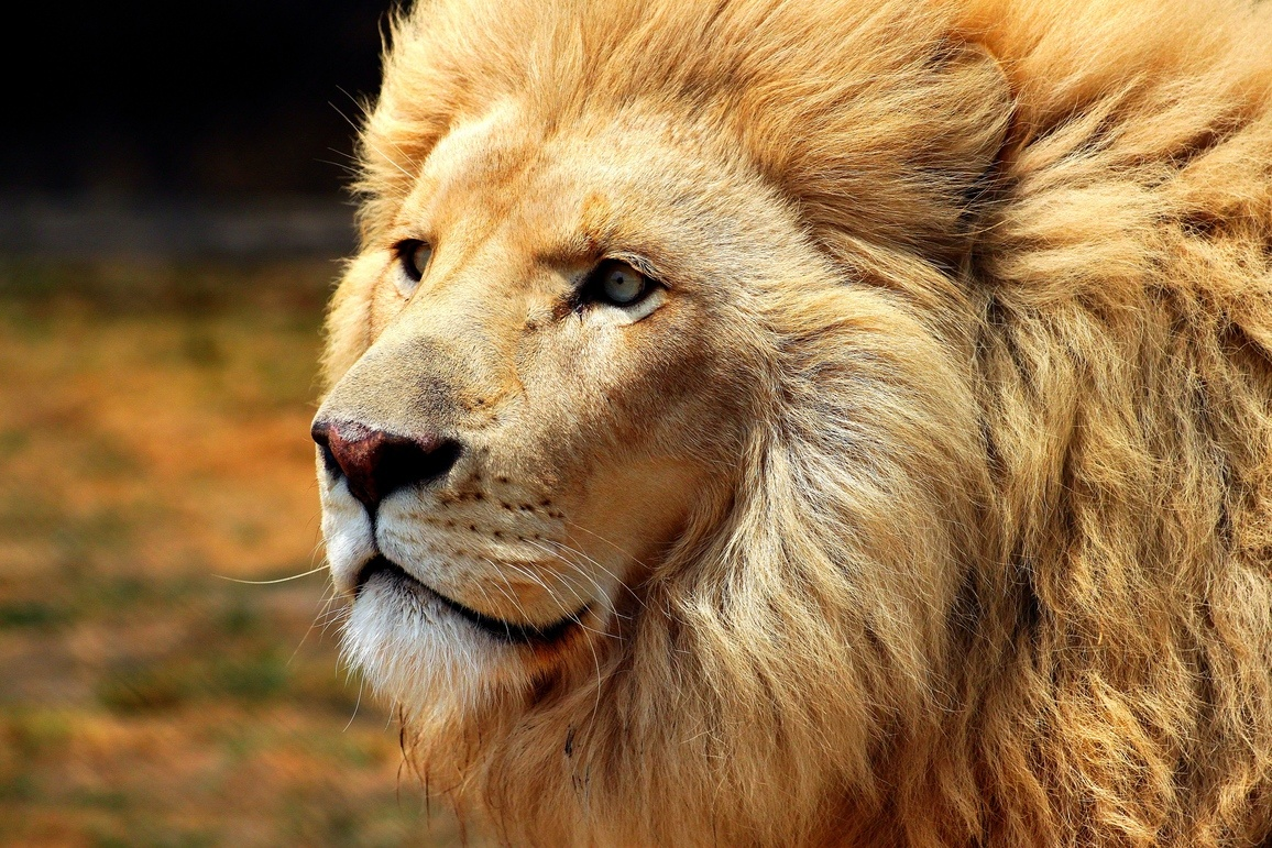 Close-up of a male lion and his thick mane
