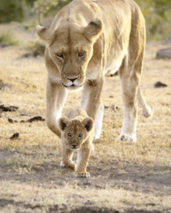 Lion and her young cub walking