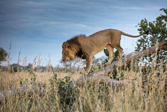 Male lion walking down the drunk of a fallen tree in the bush