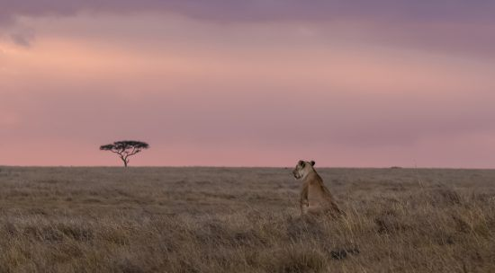 A lone lion and tree at dusk