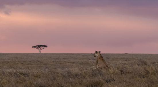 Leoa solitária na savana com baobá ao fundo