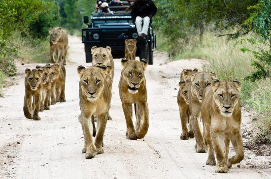 Watch prides of lion on Safari in Kruger
