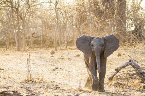 A small elephant calf