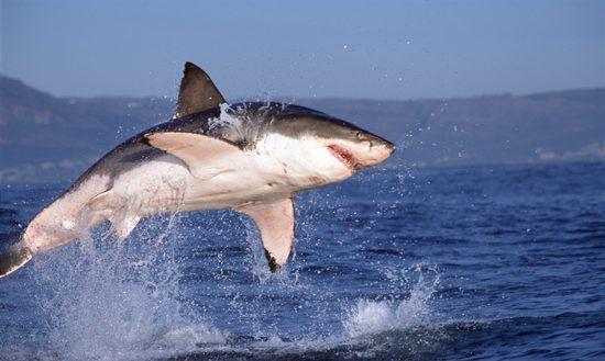 Der Weiße Hai in seiner vollen Pracht