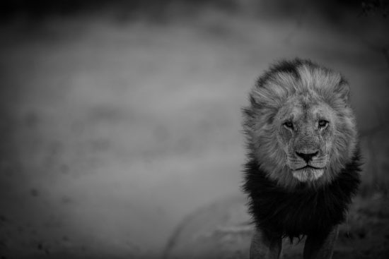 Black and white portrait of a lion walking along a road