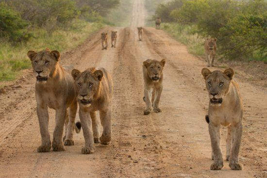 Pride of lions walking along a dirt road in the bush