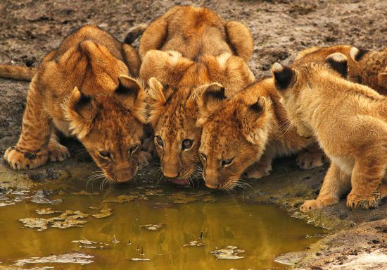 Four lion cubs drinking from a small puddle of water