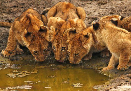 Filhotes de leão bebem água em charco