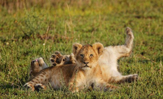 Two lion cubs lying and rolling around in the grass