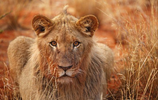 Young male lion sitting in long grass