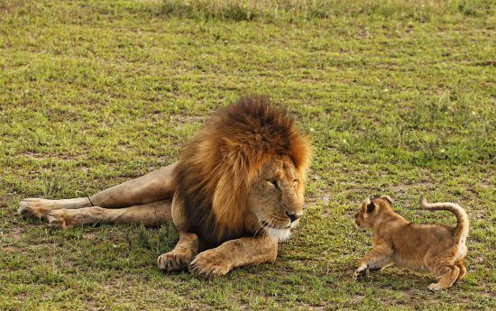 Lion cub trying to play with another member of the herd