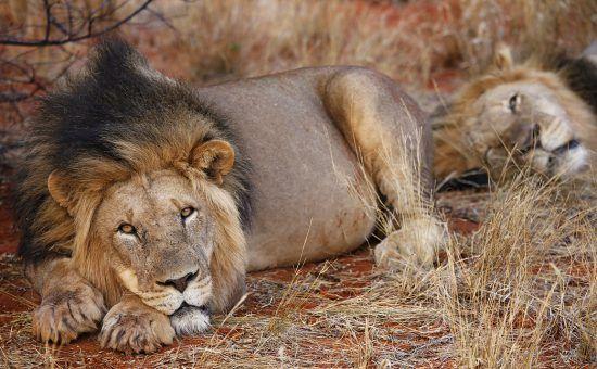 Leão fita câmera enquanto descansa