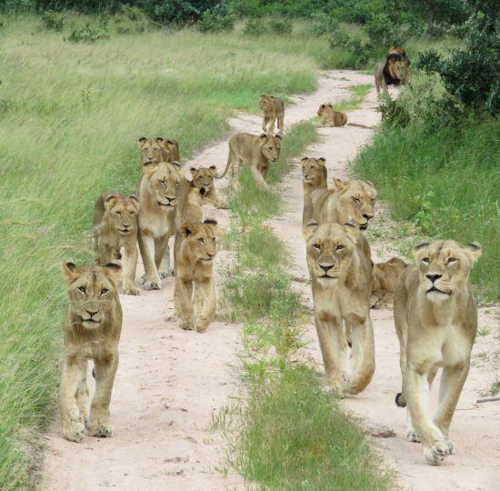 Herd of lions walking along a road in the African bush