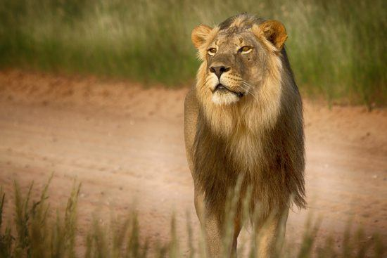 Portrait of a lion standing at the edge of a road