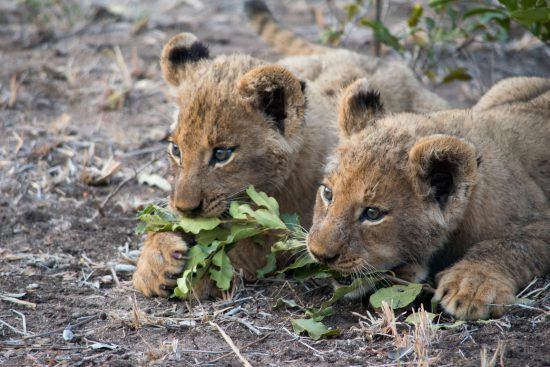 Two lion cubs biting a branch with leaves