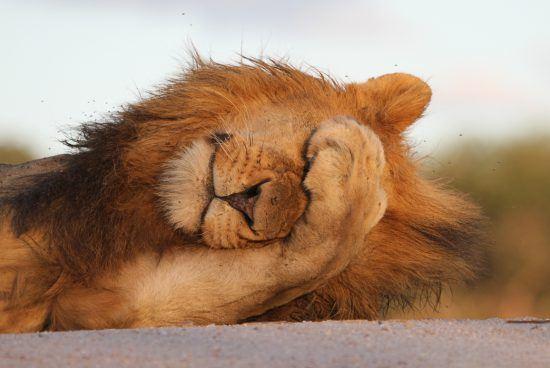Leão posiciona pata sobre os olhos como se estivesse envergonhado