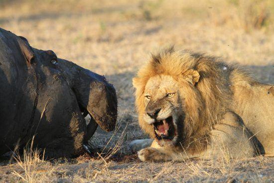 Leão mede forças com hipopótamo