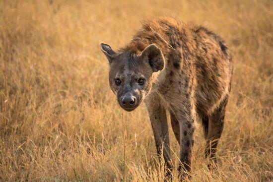 Spotted hyena in Kenya's Mara Triangle