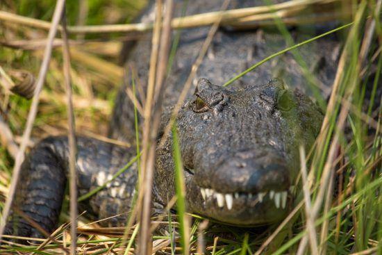 Crocodile crawling through the reeds