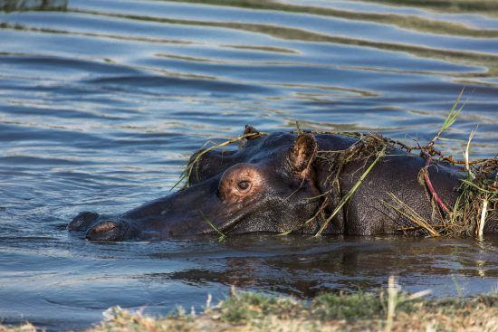 Hippo peaking out of the water