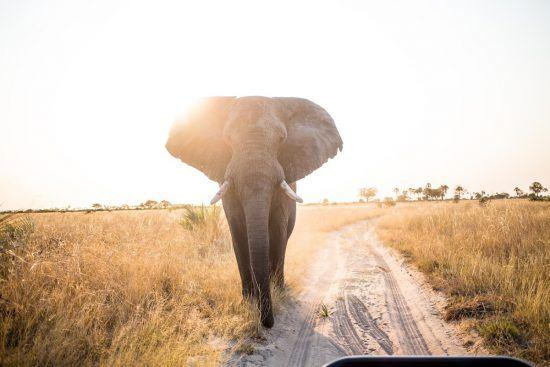 Large elephant walking on road