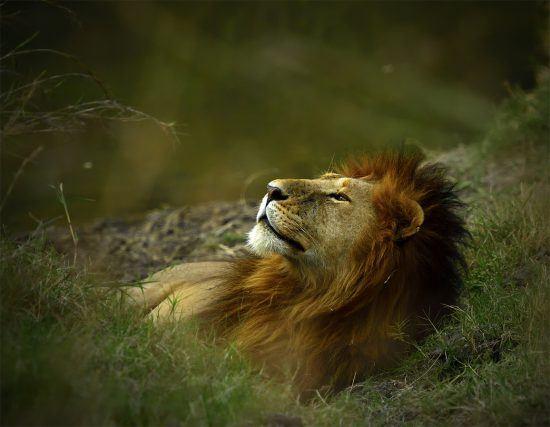 Leão descansa na grama