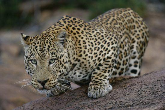 Beautiful leopard crouching in the Africat Foundation at Okonjima