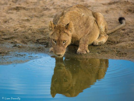 Photo of a young lion drinking  water