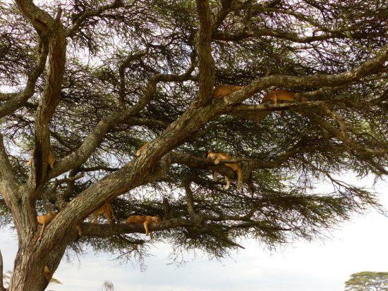 Leões descansam na copa das árvores