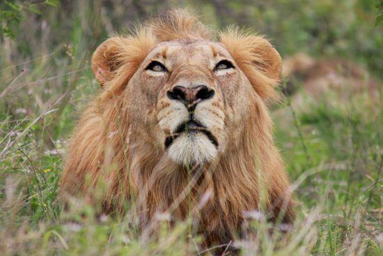 Portrait of a male lion in long grass