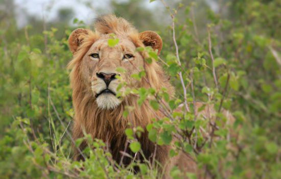 Male lion emerging from between two trees +