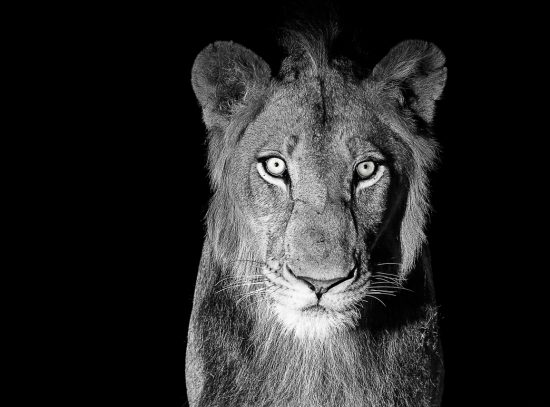 Portrait of a lion at night