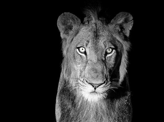 Leoa fita câmera em foto em branco e preto