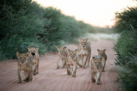 Lion cubs being escorted by an adult down a road in the bush