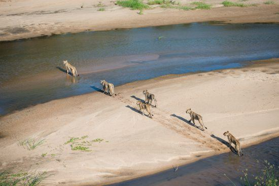 Herd of lions crossing a river