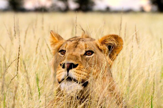 A lion peers from the tall grasses
