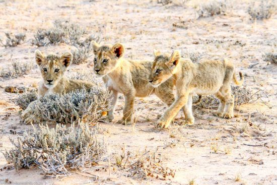 Three lion cubs in Africa