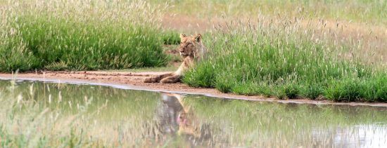 Lion sitting in long grass by a river