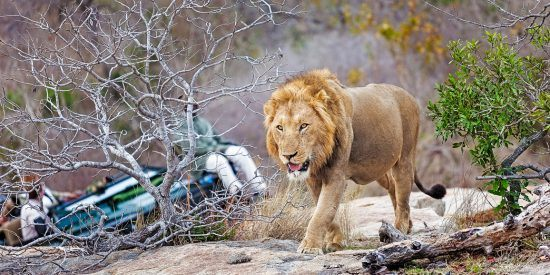 Male lion walking along with a game vehicle in the background