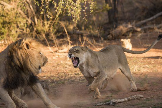 Lioness chasing away a male lion