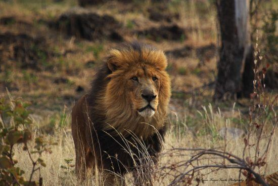 Male lion with a dark mane standing in the African bush