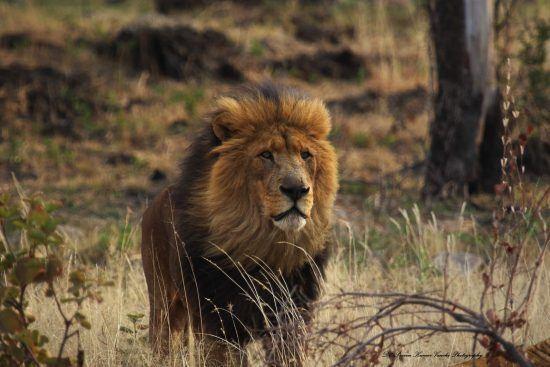 Leão com olhar desolado para o horizonte
