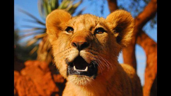 Close-up of a lion cub