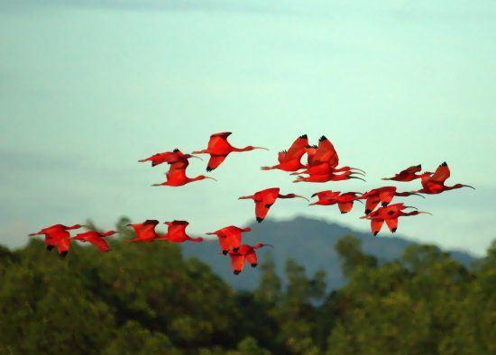 Scarlet Ibises in flight
