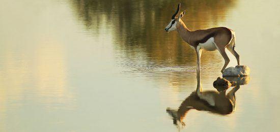 Ein Springbok steht am Wasser und schaut in die Ferne