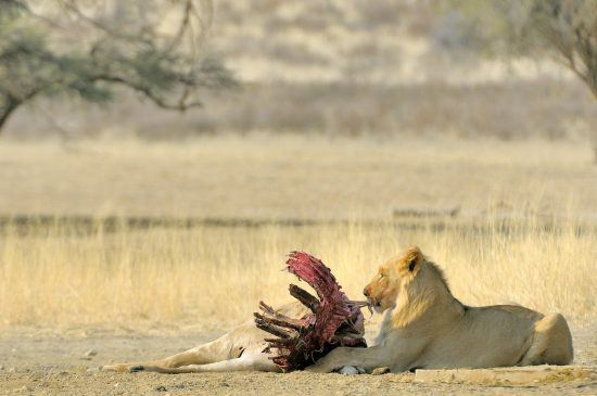 Male lion with his kill