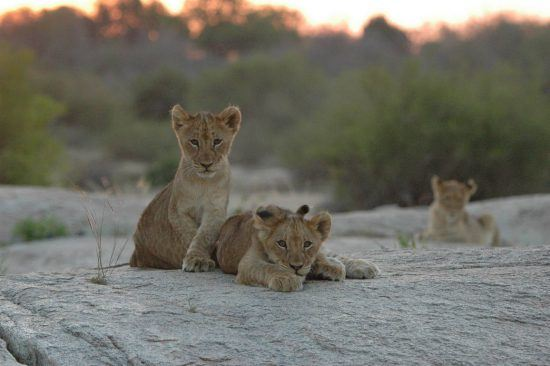 Lion cubs sitting on a rock in the African bush