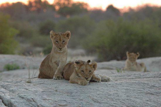 Leões filhotes olham em direção à câmera